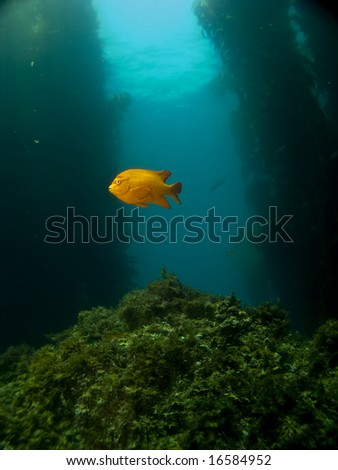 One Lone Garibaldi on a Catalina Reef in Avalon - stock photo