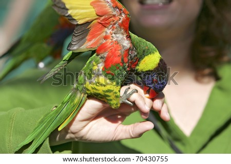 one lorikeet lovebird sitting on a woman's hand with wings extended - stock photo