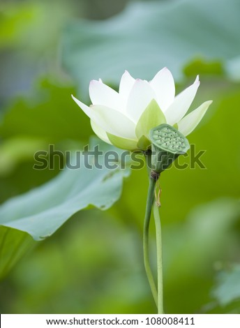 one lotus in the park - stock photo