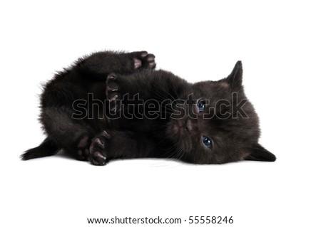 One lying black british shorthair kitten cat isolated - stock photo