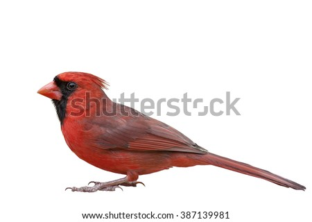 One Male Northern Cardinal Isolated on White Background - stock photo