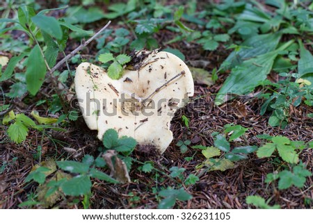 One milk mushroom in the green grass after the rain - stock photo