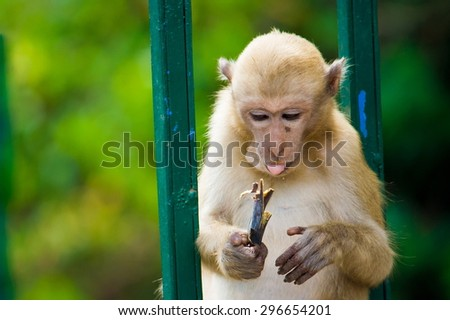 One monkey sitting and hold banana  on his hand. - stock photo