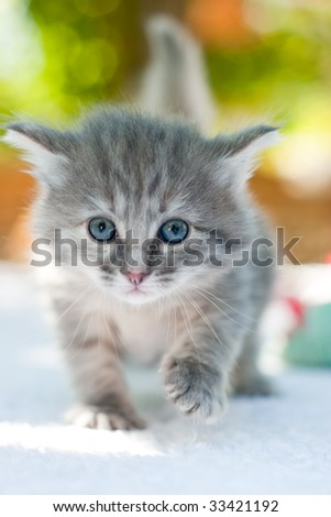 One month age walking kitten, shallow DOF - stock photo