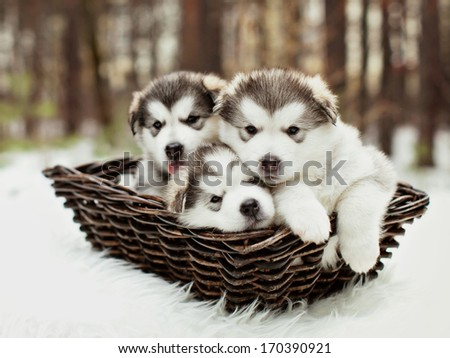 One month old dedicated alaskan malamute puppies outdoors - stock photo