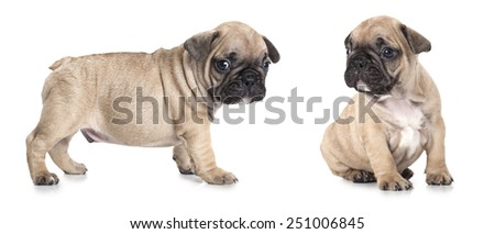 One month old French bulldog puppies isolated on white background  - stock photo