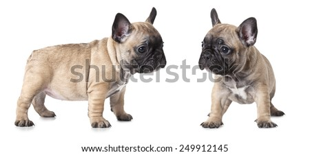 One month old French bulldogs puppy isolated on white background  - stock photo