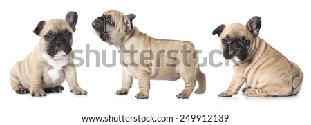 One month old French bulldogs puppy. Studio shot on white background  - stock photo