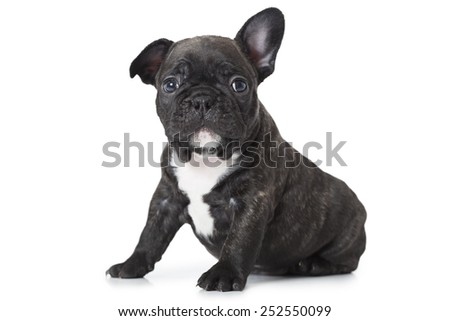 One month old puppy of French bulldog sitting on white background and looks at camera  - stock photo