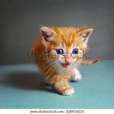 one month red kitten walk on blue background