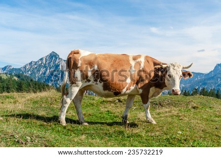 one mottled cow standing in a meadow of the austrian alps - stock photo