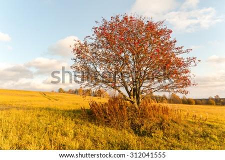 One mountain ash on the field. Autumn Landscape - stock photo