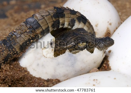 One Nile Crocodile curcled up inside it's egg about to hatch - stock photo