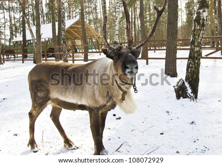 One Northern deer standing in forest on snow, recorded in early spring when they start loosing horns. - stock photo