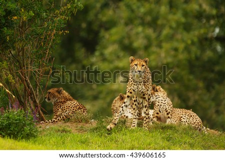 One of a group of cheetahs alert, staring intently at prey. - stock photo