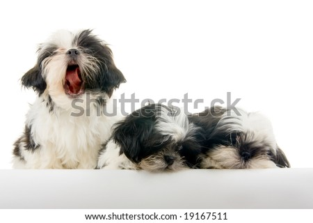 One of a group of three happy, playful Shih Tzu puppies looks like he is singing while the other two appear bored - or annoyed. - stock photo
