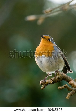 One of Europe's cutest and most memorable wild birds, the Robin (erithacus rubecula), often associated with Christmas and Winter - stock photo