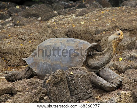 One of Lonesome George's female companions: a Galapagos Giant Tortoise (Geochelone nigra ssp.) from Wolf Volcano, located on Isabela in the Galapagos Islands (Island) - stock photo