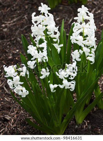 One of the first to bloom in early spring is the perennial hyacinth plant.  Delicate white blossoms amid spiked rich green leaves photographed in open shade - stock photo