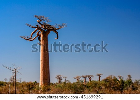 One of the huge baobabs in the Avenida de Baobab in Madagascar - stock photo
