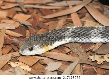 one of the many deadly snakes found in australia this is a tiger snake - stock photo