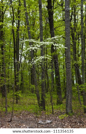One of the many dogwood trees in full bloom in Monte Sona State Park in Huntsville, AL - stock photo