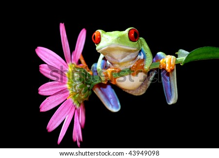 one of the most beautiful creatures on planet earth:the red eyed tree frog (agalychnis callidryas) - stock photo
