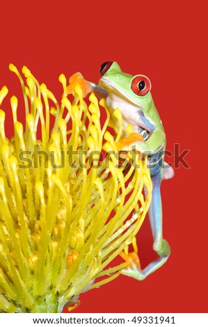 one of the most beautiful creatures on planet earth:the red eyed tree frog (agalychnis callidryas) sitting on a yellow flower isolated on red. - stock photo
