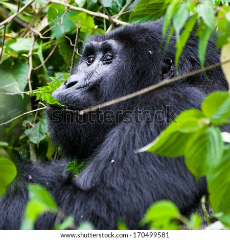 One of the most endangered animals, a great silverback Mountain Gorilla, in the Bwindi National Park in Uganda. - stock photo