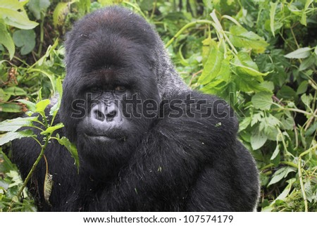 One of the most endangered animals, the Mountain Gorilla. In the wilds of the Virunga Mountains (Congo and Rwanda). This dominant silverback (Kurira) is part of the Susa Group, studied by Dian Fossey. - stock photo