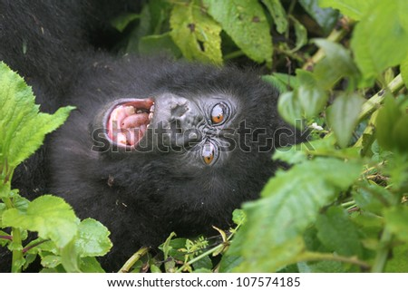 One of the most endangered animals, the Mountain Gorilla. In the wilds of the Virunga Mountains, Rwanda. This baby is a twin (only twins in the world!); part of the Susa Group, studied by Dian Fossey. - stock photo