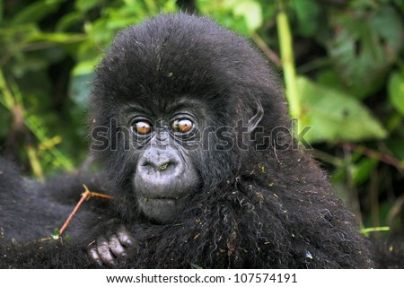 One of the most endangered animals, the Mountain Gorilla. In the wilds of the Virunga Mountains, Rwanda. This baby is a twin (only twins in the world!); part of the Susa Group, studied by Dian Fossey.