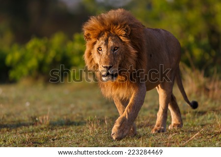 One of the most impressive Lions of Double Cross in Masai Mara, Kenya - stock photo