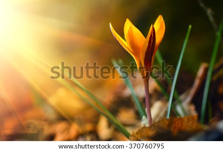 One of the very first flowers to herald in spring, yellow crocus