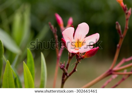 one opened oleander blossom and buds in the garden
