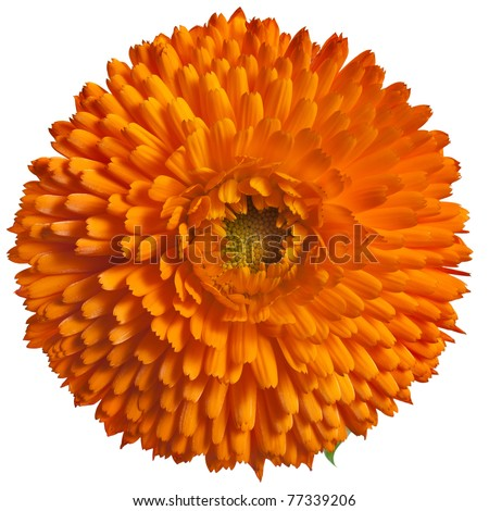 One orange flower head  of calendula Officinalis, close up Isolated on white - stock photo