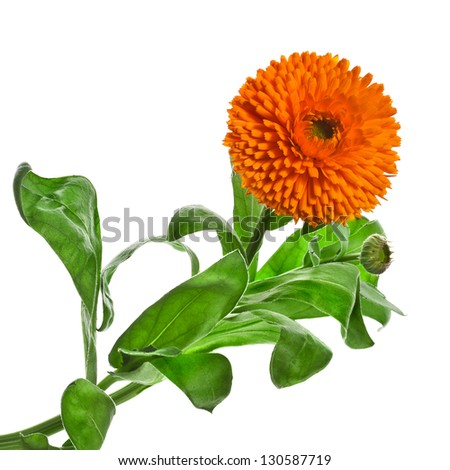 One orange flower of calendula Officinalis Isolated on white - stock photo