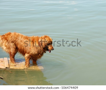one orange golden retriever dog by river ready to swim