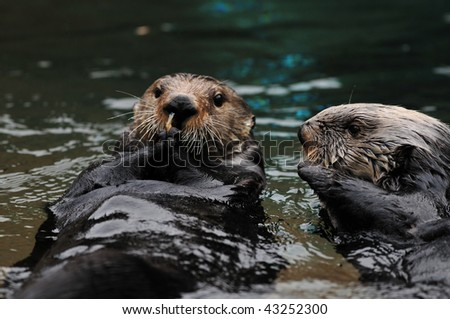 One otter eating shrimp while the other tries to snatch it from him - stock photo