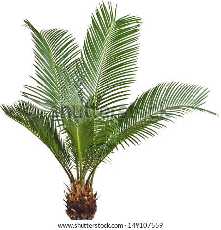 One Palm tree cycas revoluta isolated on white background - stock photo