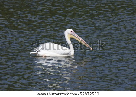 One pelican swims in a surface of the water - stock photo