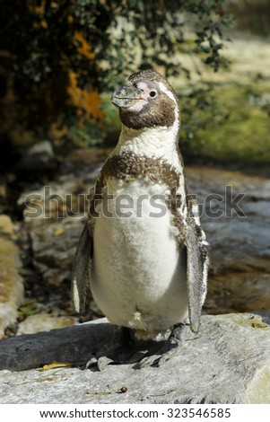 One Penguin With Brown Streak On The Stone Posing With Nature In The Background - stock photo