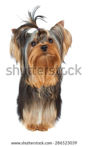 One perfectly groomed puppy of the Yorkshire Terrier with top knot stands on white background                            - stock photo