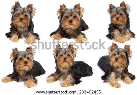 One photo session of the Yorkshire Terrier puppy