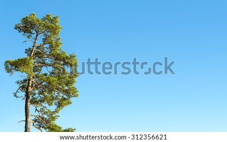 One pine tree and cloudless blue sky, copy space - stock photo