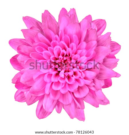 One Pink Chrysanthemum Flower Isolated over White Background. Beautiful Dahlia Flowerhead Macro - stock photo