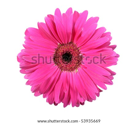 One pink flower isolated on white background. Close-up. Studio photography.