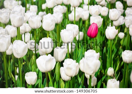 One pink tulip in a sea of white tulips - stock photo