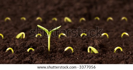 One plant growing tall among many small sprouts on dirt. - stock photo