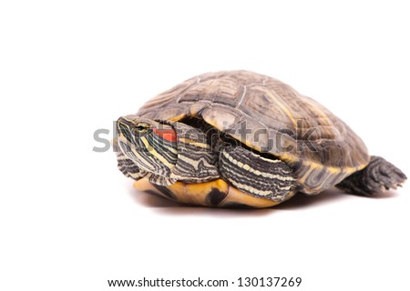 one Pond slider isolated on the white background - stock photo